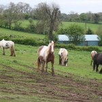 Horses at Stow Fair