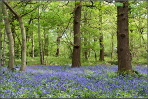 Bluebells in Swithland Wood